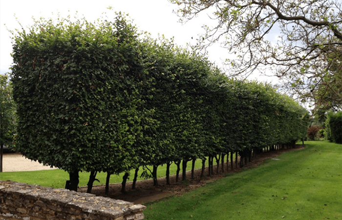 700x450-hedge-trimming